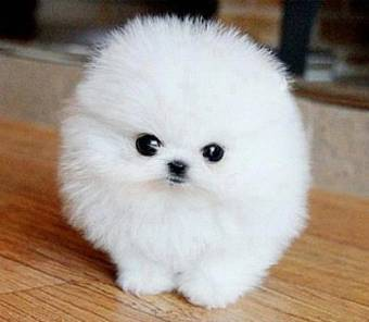 pomeranian puppies for sale in texas cheap perritos vs gatitos votaci 243 n 4105